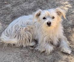 Dog for adoption - Mattie, a West Highland White Terrier / Westie &  Chihuahua Mix in Hesperia, CA | Petfinder