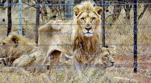 250 Emaciated Lions Found During Trophy Hunting Farm Raid - World ...