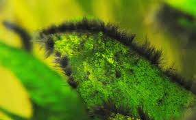 identify and beat black beard algae in
