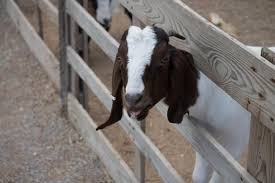 25 Great Goat Fence Ideas For Your Yard In 2020