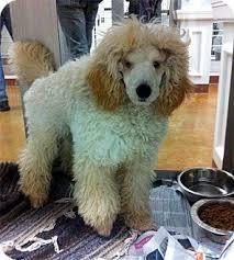 austin tx poodle miniature meet