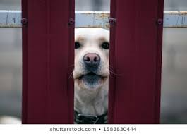 Guard Dog And Wood Fence Images Stock Photos Vectors Shutterstock