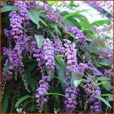 Hardenbergia Happy Wonderer Vines And Climbers Shop Online
