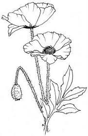 Poppies Coquelicot Dessin Dessin Fleur Peinture Fleurs
