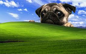 fawn pug puppy hd wallpaper