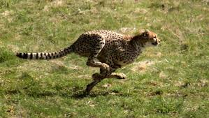 cheetah is faster than an elephant