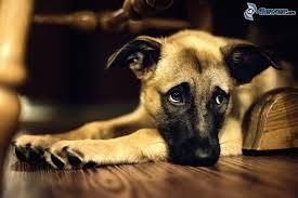 """Résultat de recherche d'images pour """"chien triste"""""""