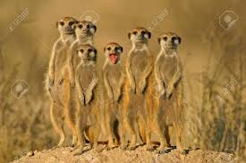 Suricate (meerkat) Family, South Africa Stock Photo, Picture And ...