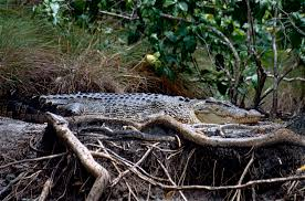 Watch Out For Tree Climbing Crocs Science News For Students