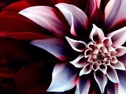 خلفيات ورود جميلة جدا اجمل صور الورود لكل من يعشقها عبارات