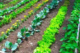 vegetable garden layout rows square