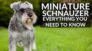 miniature schnauzer 101 everything