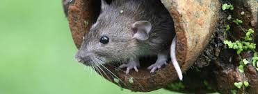 How To Control Rodents In Your Garden Rentokil