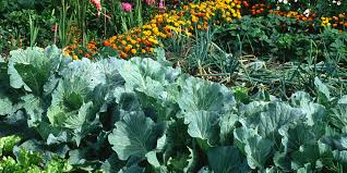 vegetable plants in gardens raised beds
