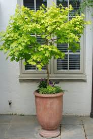 this golden maple acer campestre