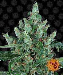 laughing buddha cans seeds