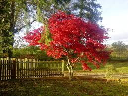 japanese maple trees for choose