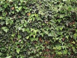 Wall Of Ivy Google Images Chain Link Fence Landscaping Screen Chain Link Fence Privacy
