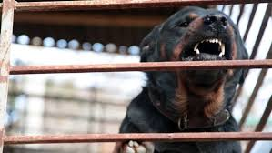 rottweiler barking stock fooe video