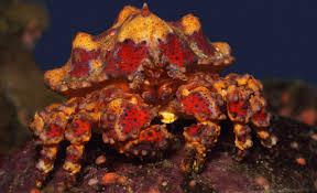Puget Sound king crab • Lopholithodes ...