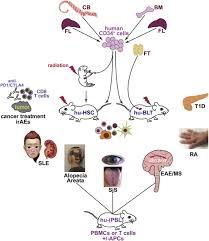 human immune system mice