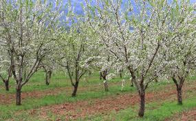 اهم تقنيات زراعة شجرة اللوز Agriculture Mono