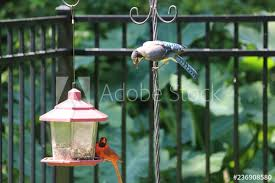 Blue Jay And Male Northern Cardinal Songbird Birds Perched On Bird Feeder Squirrel On Black Metal Fence Buy This Stock Photo And Explore Similar Images At Adobe Stock Adobe Stock