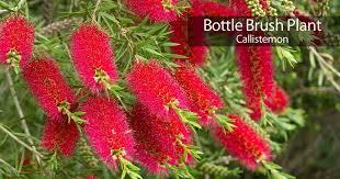 Bottle Brush Tree Care How To Grow Bottle Brush Plants