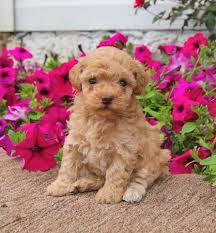 yorkie puppies hjjjggj dogs
