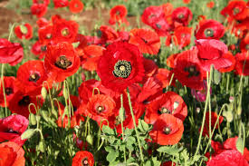 silver falls seed pany red poppy