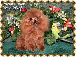 pappas page shananigan s teacup poodles
