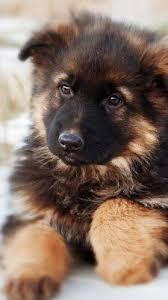 german shepherd puppy free