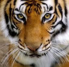 tiger free stock photos 160