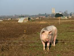 File Pig Behind Electric Fence At Cawston Norfolk England Geograph Org Uk 636497 Jpg Wikimedia Commons