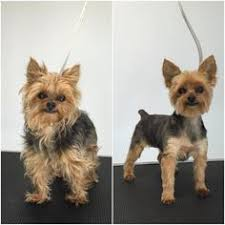 41 best yorkie hairstyles images in