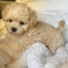 poodle puppies houston tx