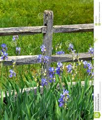 Fence Post Surrounded By Wild Irises Stock Photo Image Of Green Growing 117342614