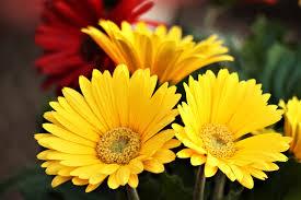 Három sárga Gerbera Dasies Szabad kép - Public Domain Pictures