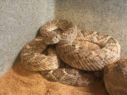 Rattlesnake Season Is Off To An Early Start