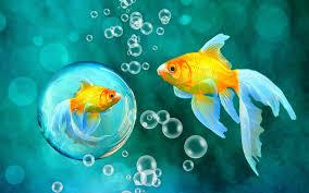 فقاعات ذهبية خوخه الأزرق أسماك الأسماك البحرية تحت الماء بماء