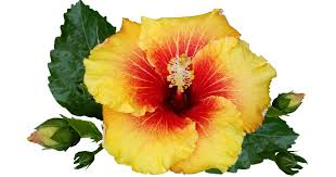 hibiscus tree care growing the