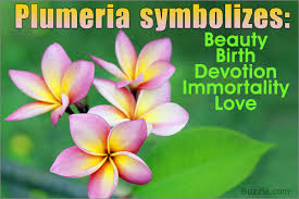 plumeria flower meaning its deep symbolism in various cultures