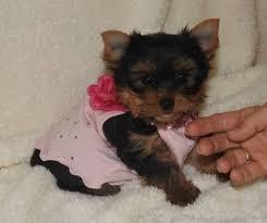 teacup yorkie terrier puppies