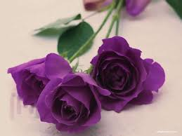dari mawar hitam sampai putih yuk cari tahu makna bunga mawar