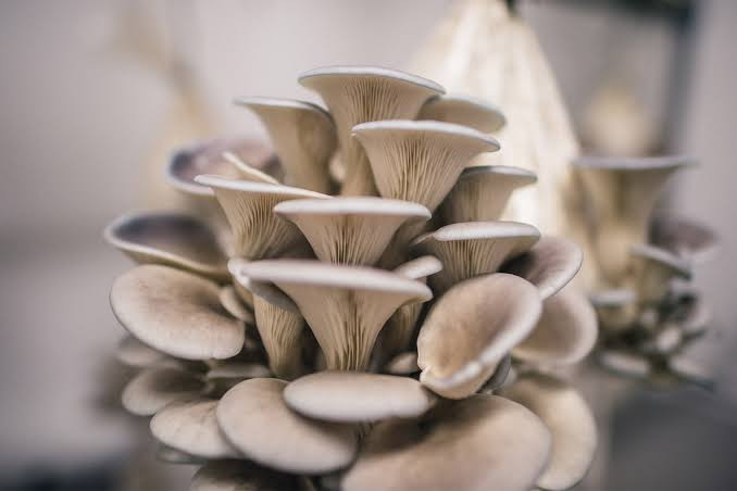 Image result for oyster mushroom growing
