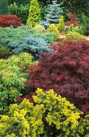 japanese maple and conifers
