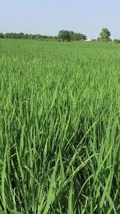 Crop Information - Paddy ,jhona farmer Review | Facebook