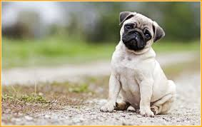 66 pug puppies wallpapers on wallpaperplay