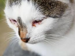 cat eye discharge cat world
