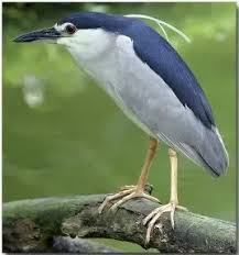 Image result for green heron feet